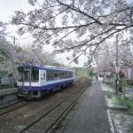 のと鉄道 桜